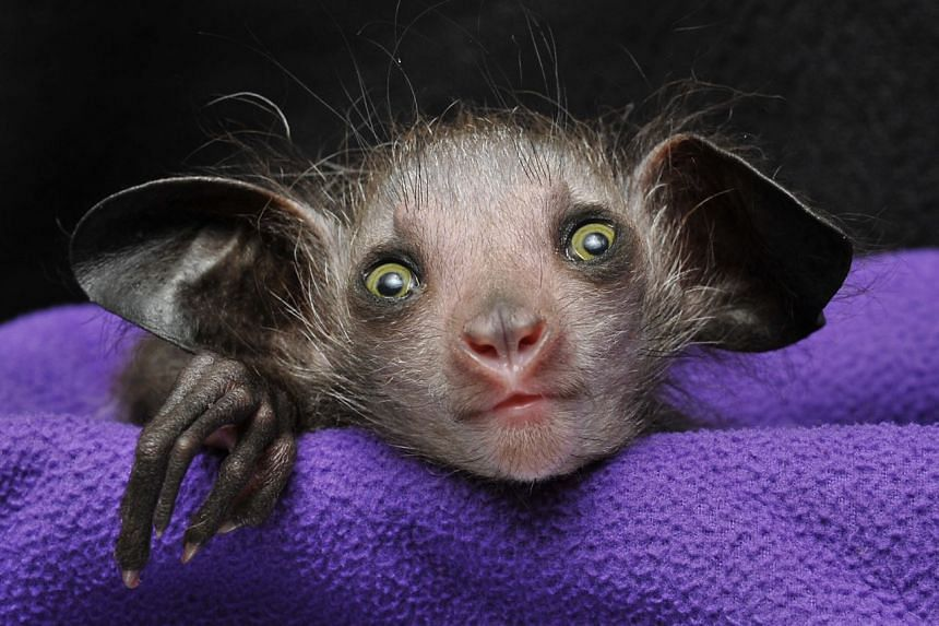 A young aye-aye looks into the camera at the Duke Lemur Centre.