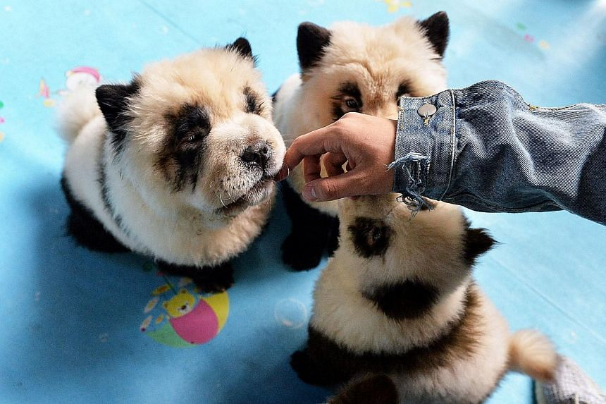 A pet cafe in Sichuan has ignited controversy over its Chow Chow dogs dyed to resemble pandas. The cafe owner says the dye is imported from Japan and will not harm the dogs but neitzens beg to differ.