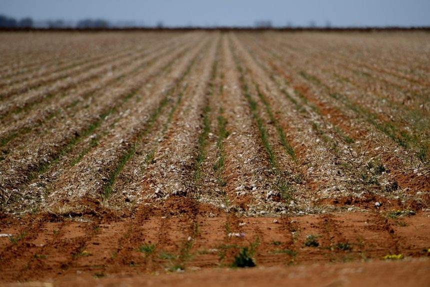 A field is sprinkled with the remnants of cotton after a harvest in Trangie, Australia, on Sept 4, 2019. The parched earth of Australia's longest waterway is in the grip of the continent's most severe drought in a century.