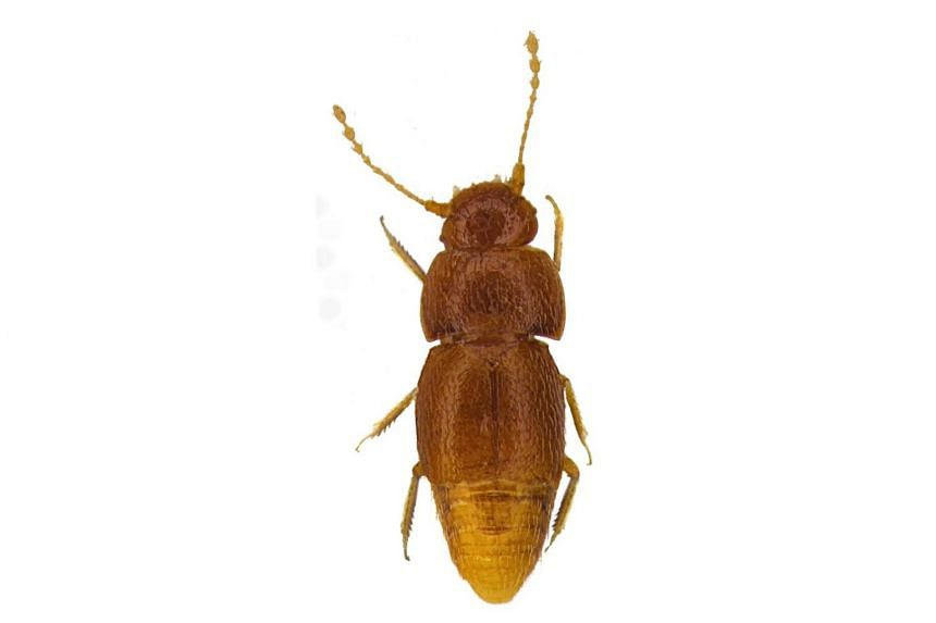 The honey-coloured insect, measuring less than one millimetre, was discovered in the Kenyan capital Nairobi in the 1960s but was only named on Oct 25, after activist Greta Thunberg.