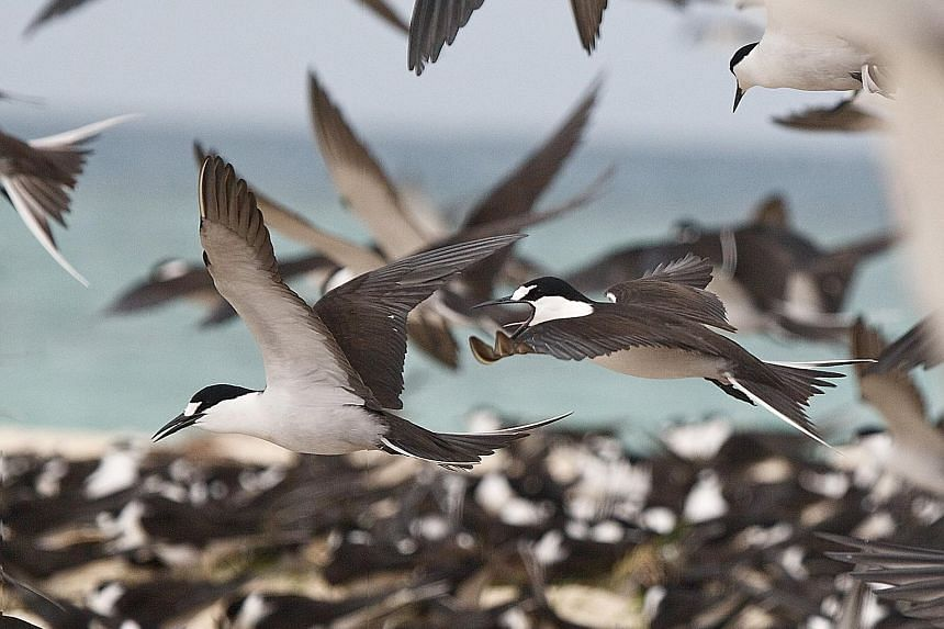 A seabird colony in the Philippines' Tubbataha Reefs, where Bird Islet has lost nearly a fifth of its area to coastal erosion, putting its large colonies of boobies and terns at risk. PHOTO: COURTESY OF LEE TIAK