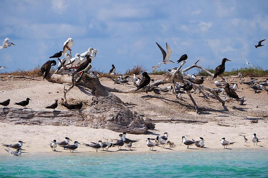 Sooty terns (left) at Michaelmas Cay in the Great Barrier Reef; little stints (right) - shorebirds that breed in the Arctic - spotted in a rare sighting in 2017 at Chek Jawa wetlands; and the common redshank (below), commonly found in Sungei Buloh be