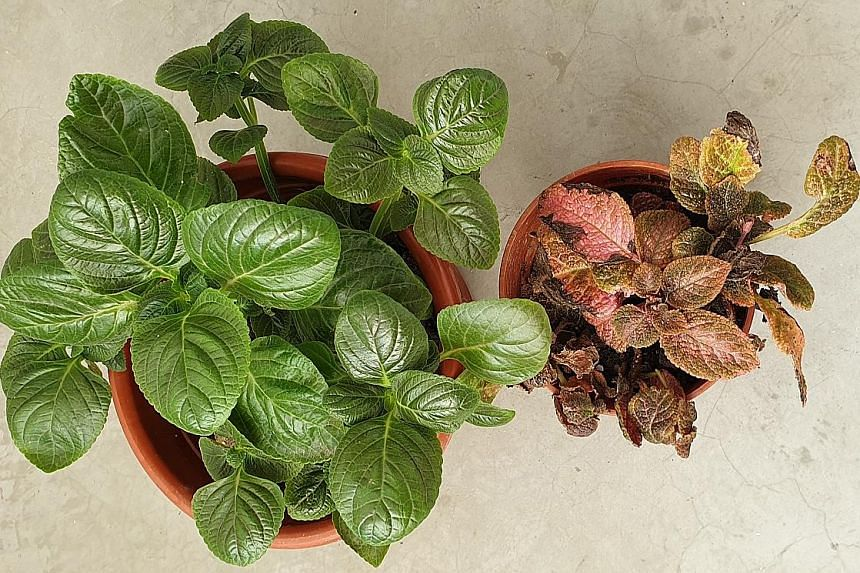 Plants are the Monkey's Potato and Flame Violet.