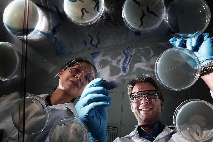 Yale-NUS College's Assistant Professor Jan Gruber and research fellow Emelyne Teo with a magnified image of the tiny worm called Caenorhabditis elegans. The researchers worked with the worms, which share many similarities with humans at the molecular
