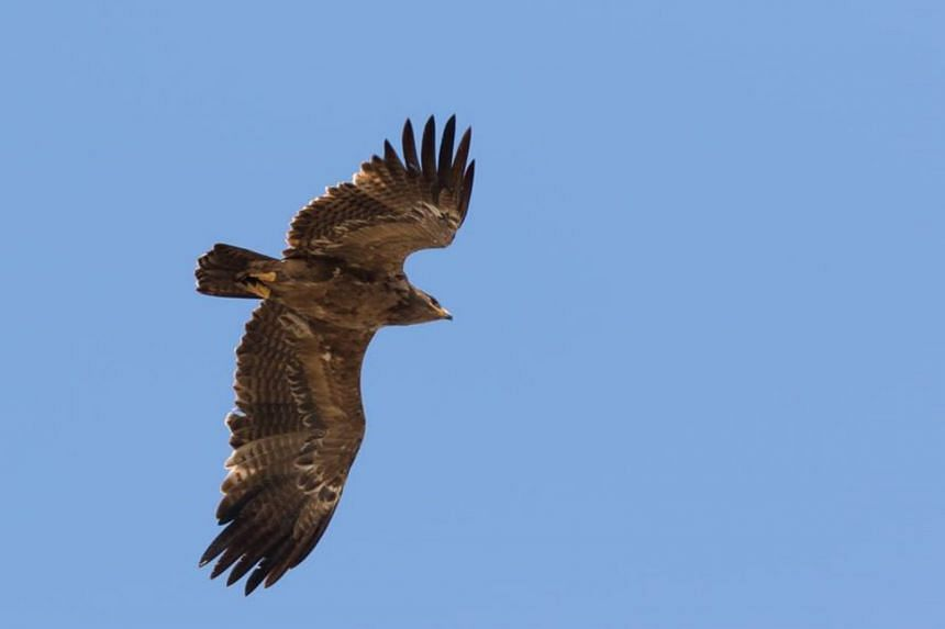 Steppe eagles breed in southern Russia and Kazakhstan, and spend their winter in Africa and India.