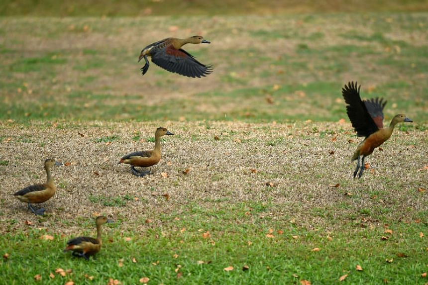 Lesser Whistling Ducks at Swan Pond. They are seen at the Swan Pond since 2007 and up to 50 individuals can be found flying around the waters of the pond or resting in the Istana grounds.