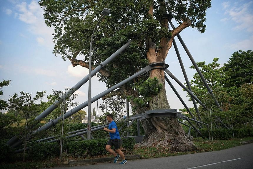 The lychee tree in Mount Rosie has been propped up by a galvanised steel structure since 2017 to help it weather the elements. ST PHOTO: MARK CHEONG