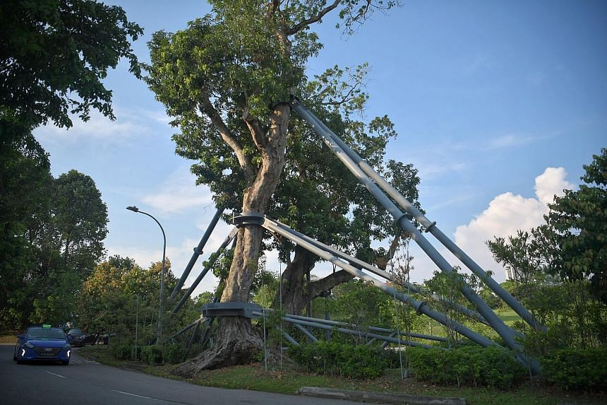 More than a century old, this lychee tree in the Novena area has been supported by a permanent galvanised steel structure since 2017.