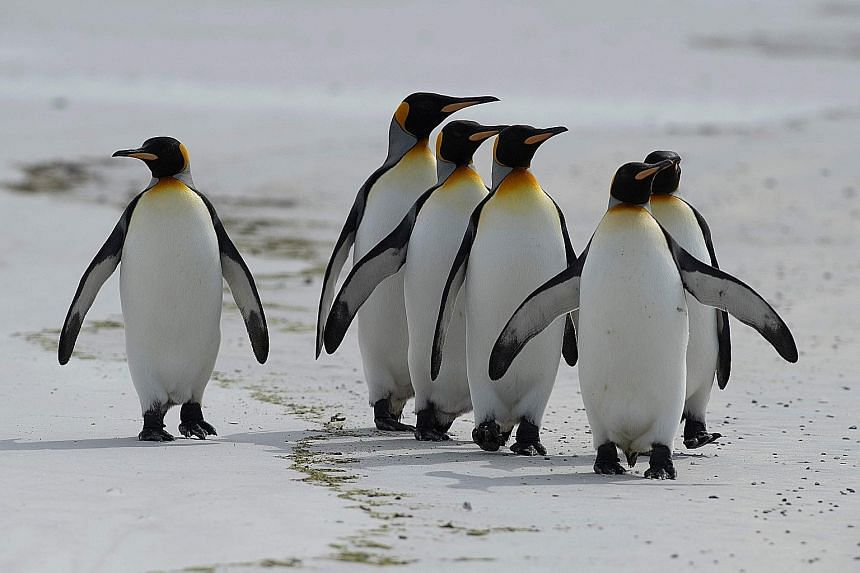 King penguins, one of five penguin species in the Falklands, are a major draw for tourists.
