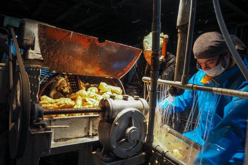 Workers wash and sort the sweet potatoes.
