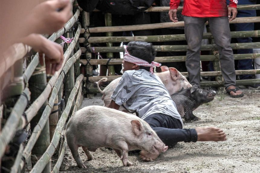 Pigs are seen at the Pig and Pork Lake Toba Festival in Muara, Sumatra. Over 4,000 pigs have died between September and early November.