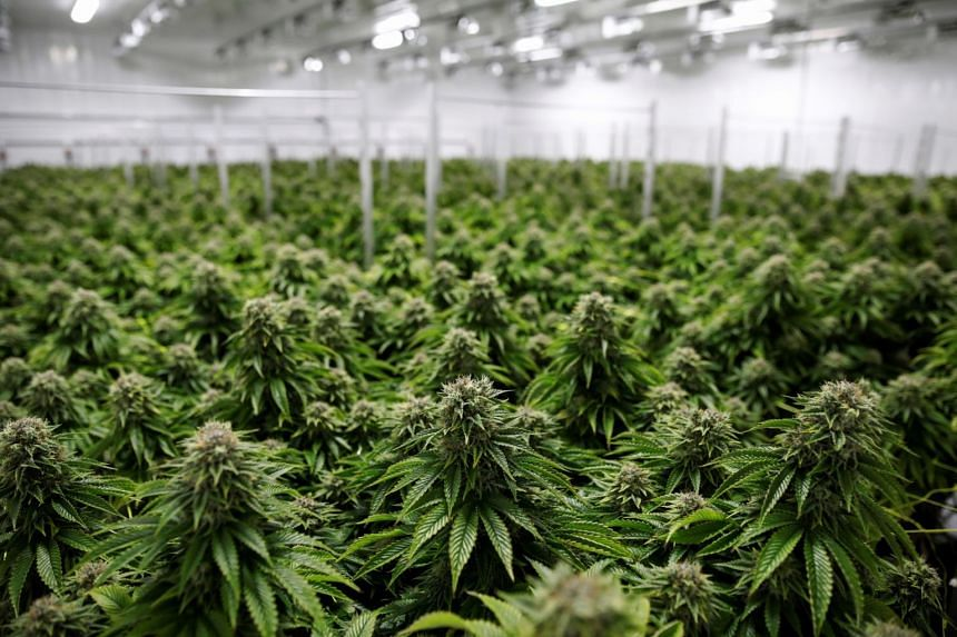 Marijuana plants being grown at a facility in Smiths Falls, Ontario, Canada, on Oct 29, 2019.