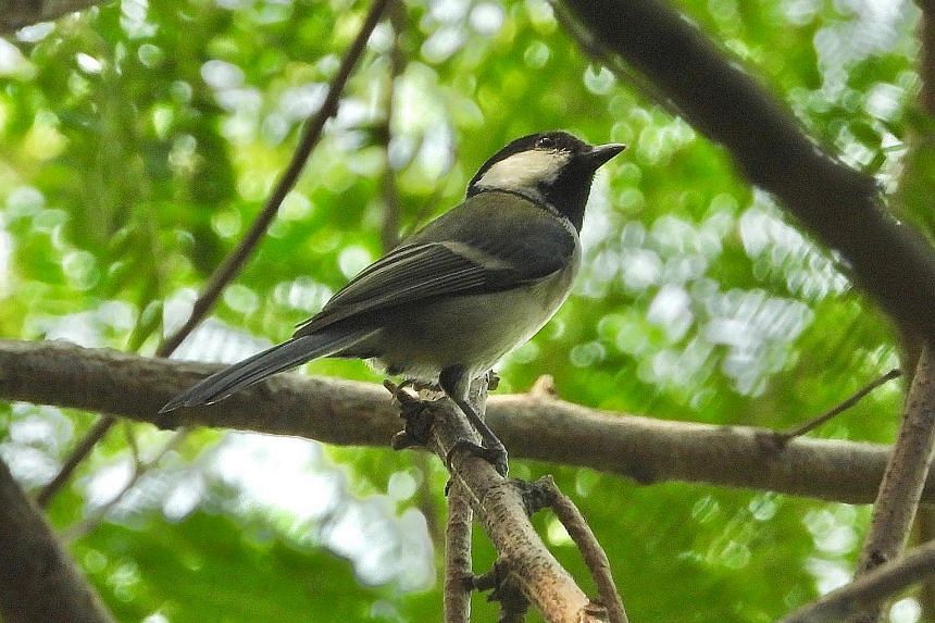 A cinereous tit, a type of songbird, spotted by ornithologist Yong Ding Li in Tuas earlier this week. It was the first recorded sighting of a tit in Singapore. PHOTO: YONG DING LI A fairy pitta, the first sighted in Singapore, spotted by nature photo