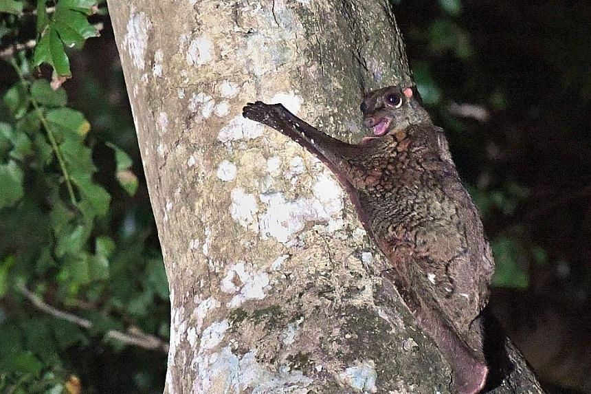The sunda colugo (above), a tree dweller, is also called a flying lemur because the shape of its head resembles that of the lemurs of Madagascar.