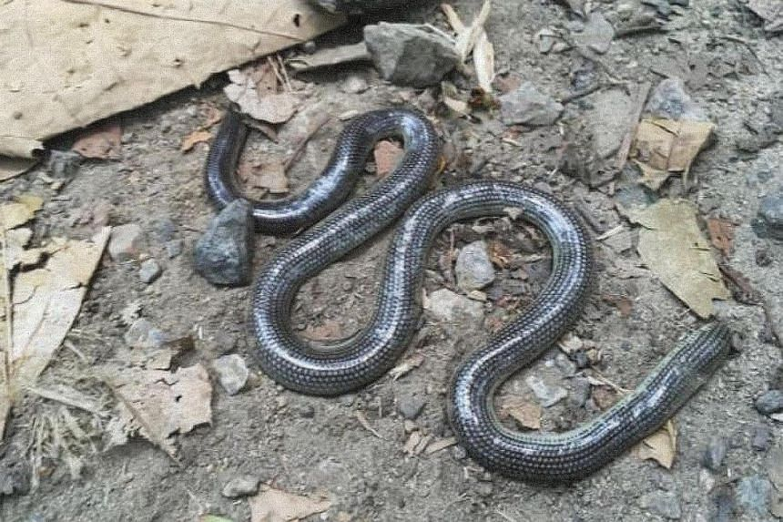 An avid mountain biker, Dr John van Wyhe found this dead lined blind snake (above) in Bukit Timah Nature Reserve on Sept 16, during one of his regular rides.