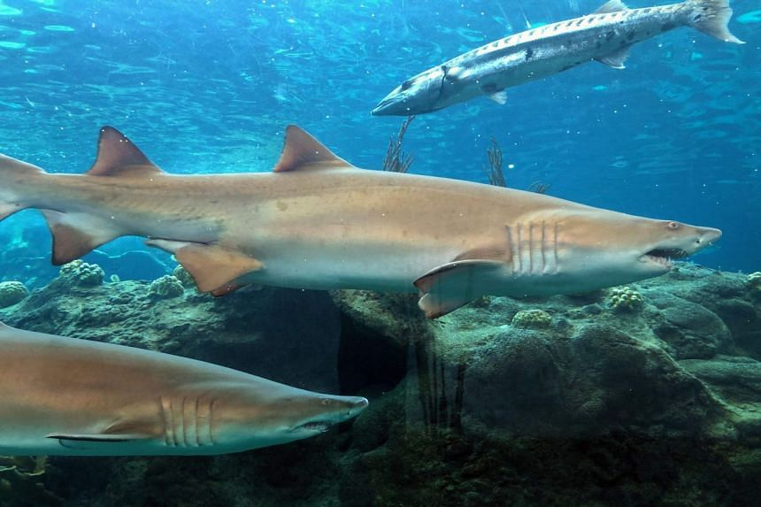 Sand Tiger sharks and a barracuda swim in a tank at the Florida Aquarium in the US.