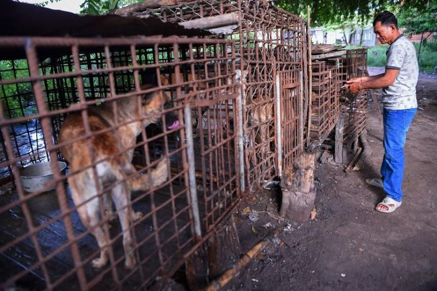 A man locking a cage full of dogs at a slaughterhouse on Oct 25, 2019, in Siem Reap province, Cambodia.