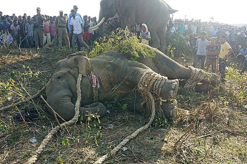 The elephant, named after the late Al-Qaeda leader Osama bin Laden, had killed five people during a 24-hour rampage through Goalpara district last month. Wildlife officers had tracked the animal through a forest for several days, using drones and dom