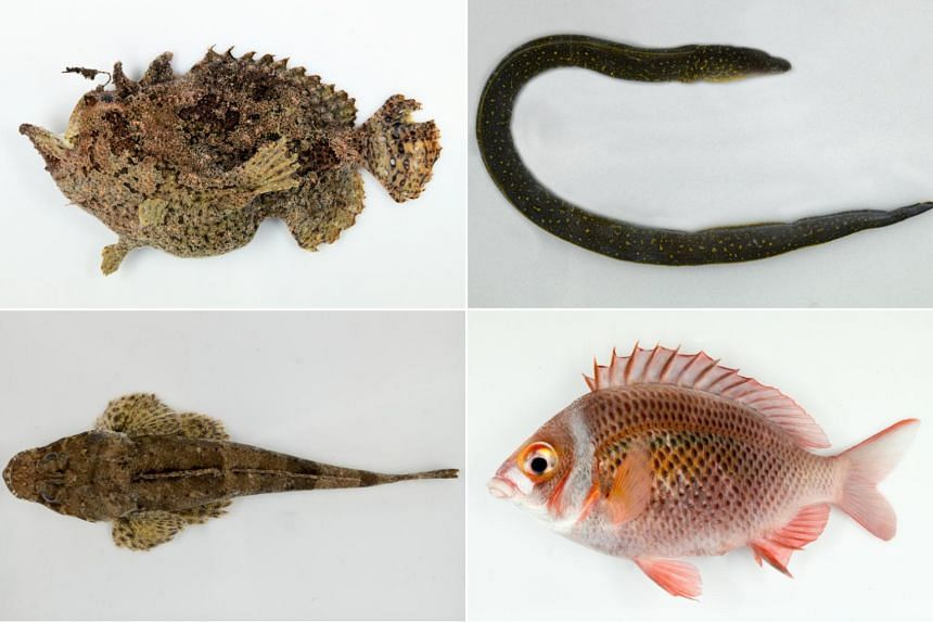 (Clockwise from top left) The spotted-tail frogfish, the Indian mud moray eel, the whitecheek monocle bream and the papillose flathead.