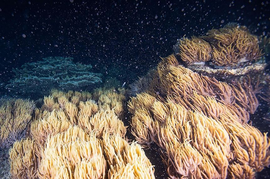 This year's coral spawning at the Great Barrier Reef could be among the biggest in recent times, marine biologists say.