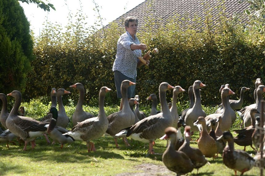 French duck owner Dominique Douthe taking care of her ducks and geese, in Soustons, south-western France, on Sept 2, 2019.
