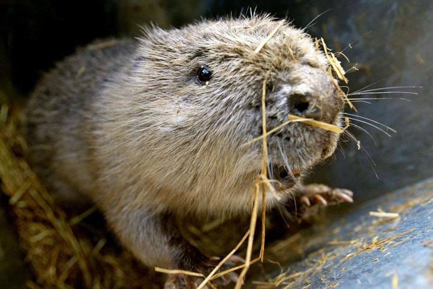 Beavers were hunted out of existence in Britain in the 16th century because of demand for their fur, meat and scent glands.