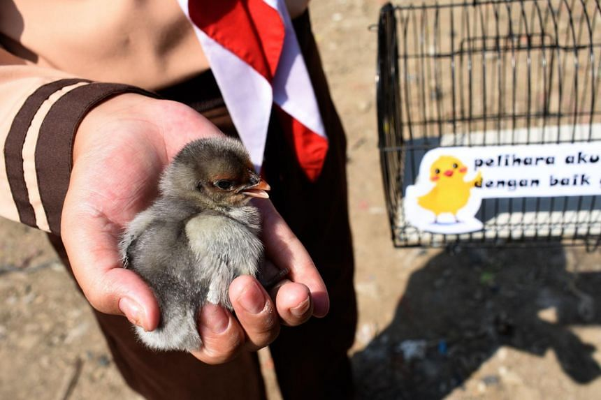 An Indonesian pupil holds a chick in Bandung, West Java, on Nov 21, 2019.