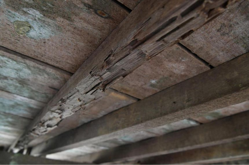 The beams supporting the flooring in Madam Kamariah Abdullah's house have been damaged by termites.