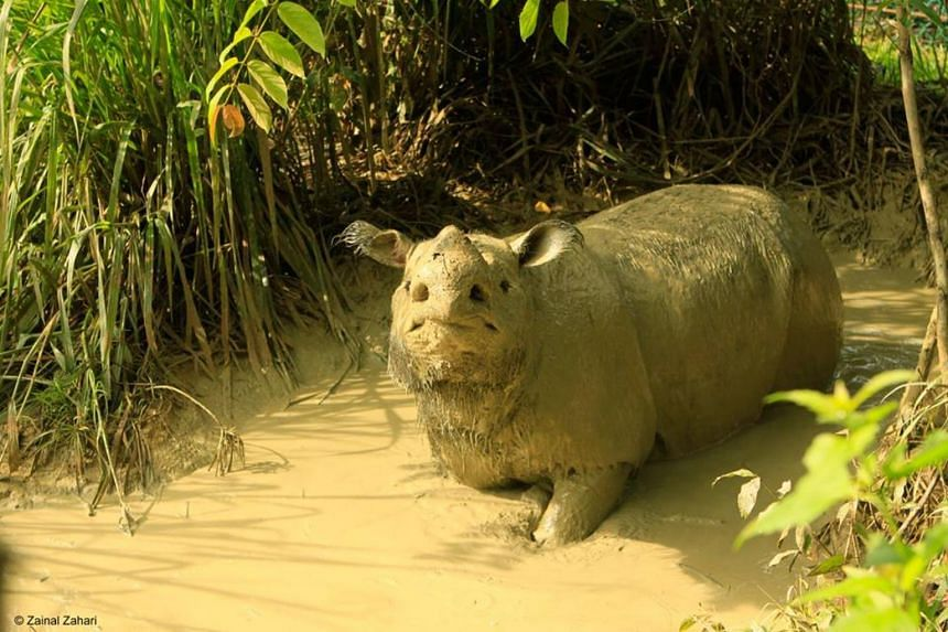 Iman died at the Borneo Rhino Sanctuary on Nov 23, 2019.