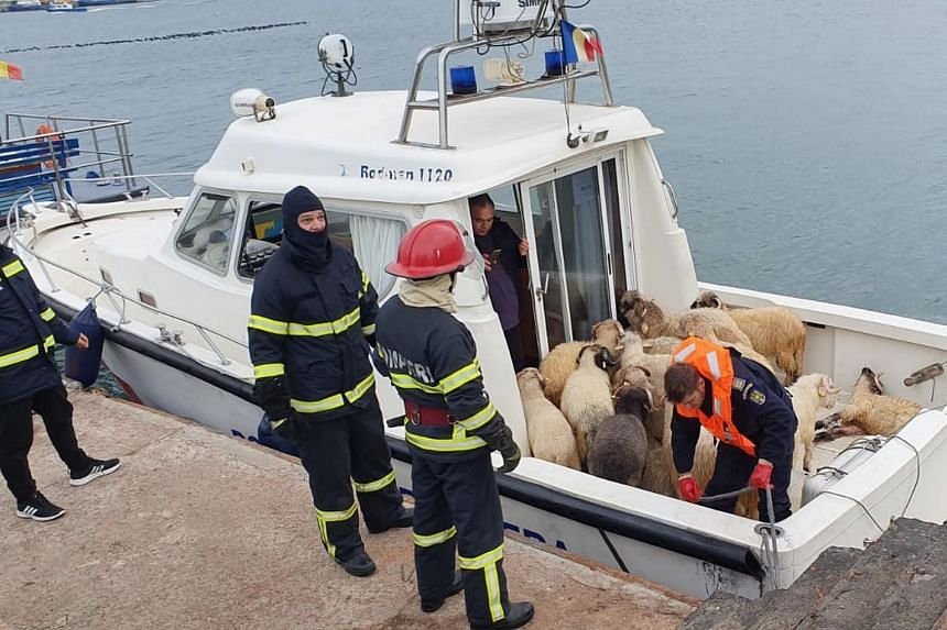 Sheep rescued from a capsized livestock transport vessel on board a border police boat in the Black Sea harbour of Midia near Constanta, Romania, on Nov 24, 2019.