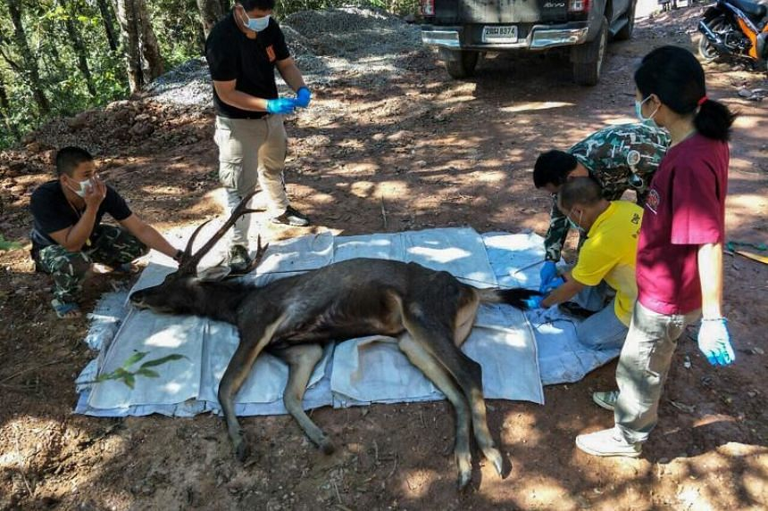 Veterinarians prepare to examine a dead deer at Khun Sathan National Park in Thailand's Nan province on Nov 25, 2019.