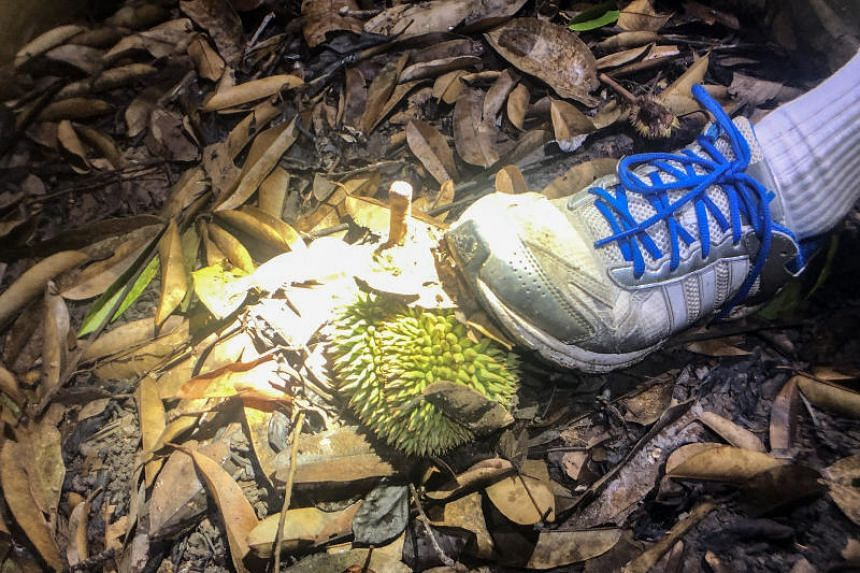 A small durian seen on the ground during a trek.