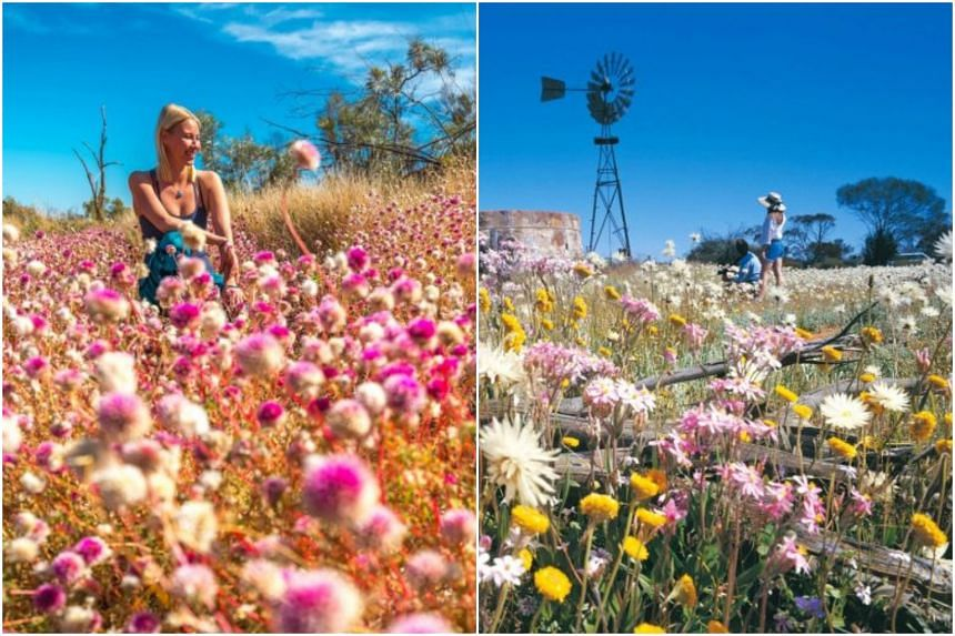 Bachelors Buttons flowers (right) at Karijini National Park and Everlastings flowers near Paynes Find.