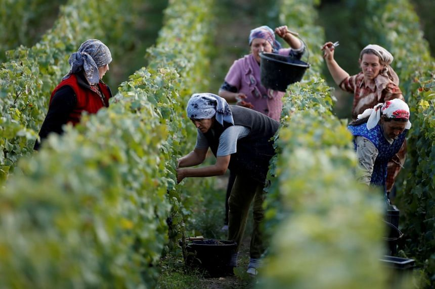 Workers collect grapes at a Taittinger vineyard during the traditional Champagne wine harvest in Pierry, France.