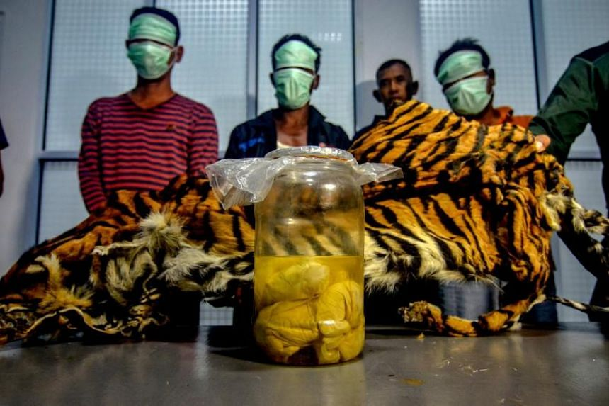 Three Indonesian men, wearing masks, being paraded with a seized Sumatran tiger skin and four tiger foetuses in a jar, after they were caught by the wildlife enforcement team as they tried to sell these items in Pekanbaru, Riau.