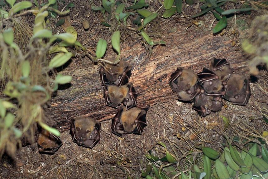 Nipah is a virus carried primarily by certain types of fruit bats and pigs.