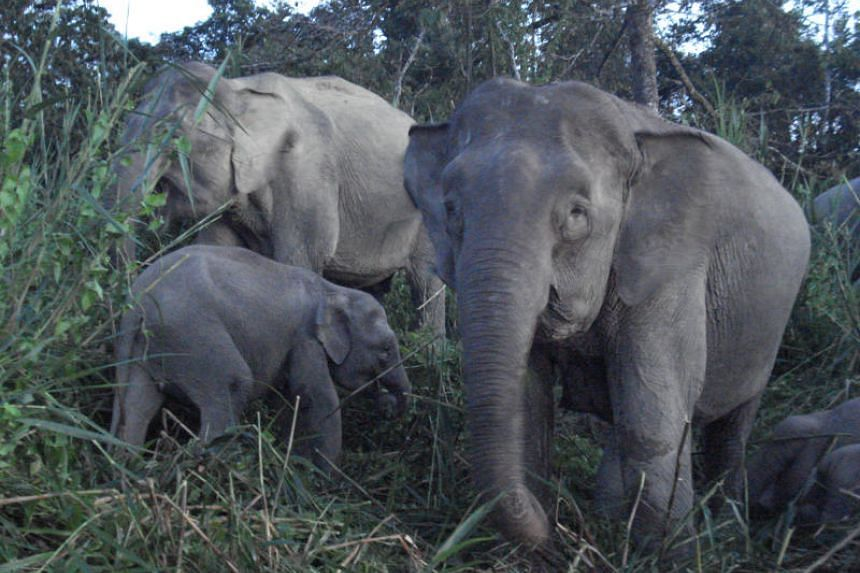 A photo taken in June 2012 shows the pygmy elephants of Borneo.