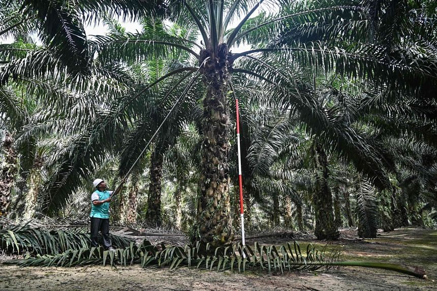 A worker trims leaves on a dwarf palm oil tree at the Malaysian Palm Oil Board (MPOB) research station in Bukit Lawiang in southern Johor state.