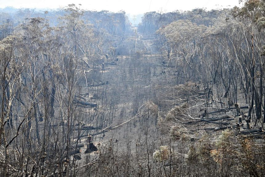 Burnt trees seen after a bush fire in Mount Weison in Blue Mountains, on Dec 18, 2019.