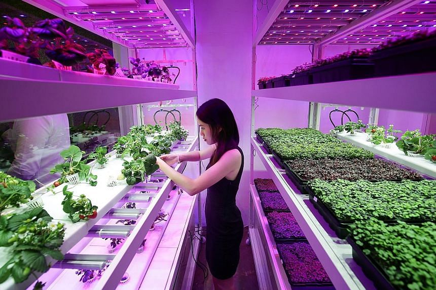 Sustenir Agriculture might be known for being the first local farm to grow strawberries for sale in Singapore, but the company is using its cutting-edge technology for more than just growing temperate fruits in tropical regions. Next year, the 10,000