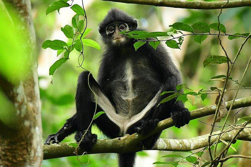 Genetic data from faecal samples has indicated that the Raffles' banded langur (above) is distinct enough from two other langur species in the region to be considered a species of its own. The other two are the Robinson's banded langur and the East S