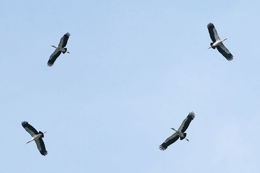 Asian openbill storks spotted at Khoo Teck Puat Hospital, on Dec 23, 2019.