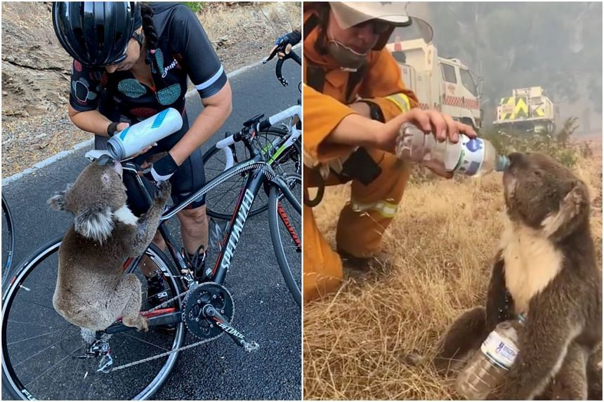Images shared of koalas drinking water after being rescued from the wildfires have gone viral on social media in recent days.