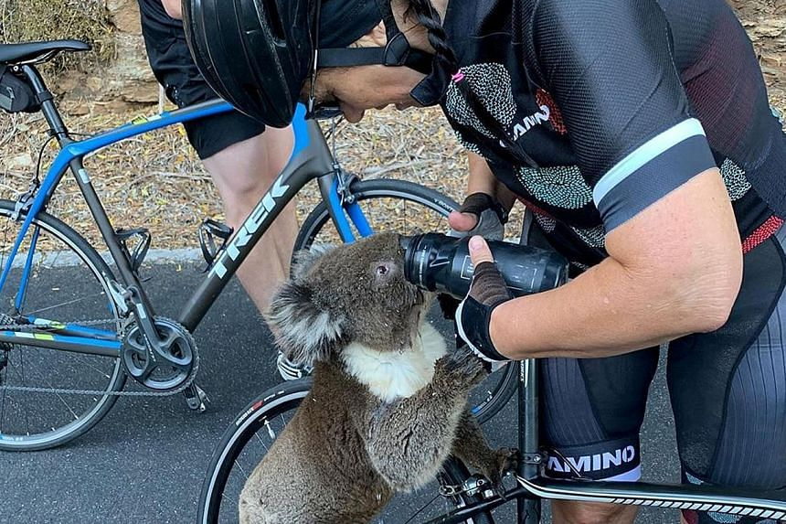 An image circulating on social media of a cyclist giving water to a koala on Friday in Adelaide Hills, South Australia, during a heatwave that has hit the region. The intense heat could worsen the bush fires raging across Australia. Nine people have