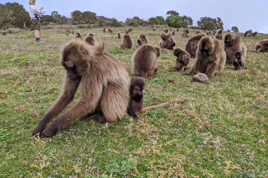 Gelada baboons, at Simien Mountains National Park, are the only primates that primarily eat grass.