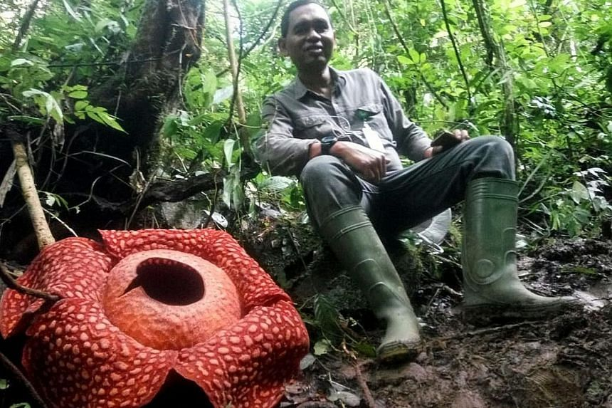 A handout photo taken on Jan 2 shows a man sitting next to a giant Rafflesia tuan-mudae - a fleshy red flower with white blister-like spots on its enormous petals - measuring 111cm in diameter at the Maninjau nature reserve in Agam, West Sumatra. The