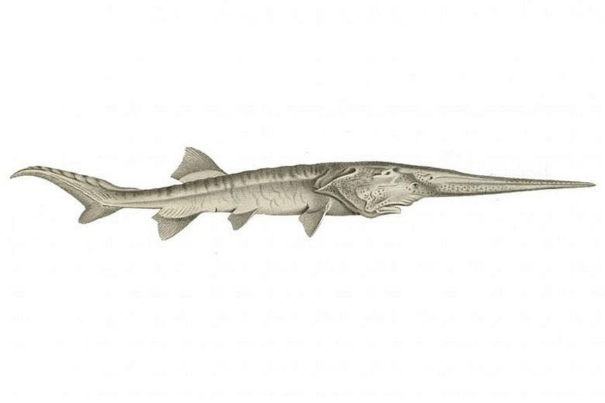 The Psephurus gladius was about 2m to 3m long and could grow longer than 7m. The fish had existed for 15 million years.