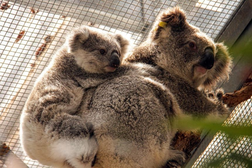A photo of rescued koalas in their temporary shelter at Taronga Zoo in Sydney on Dec 17, 2019. The affected koalas on Kangaroo Island cannot be removed the island due to their chlamydia-free status.
