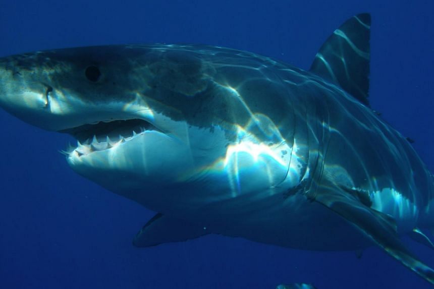 Diver dies after great white shark attack