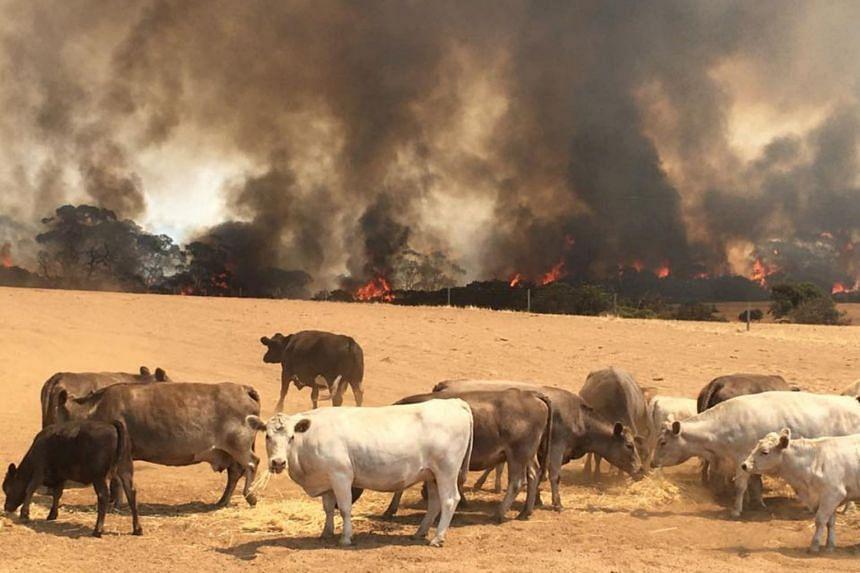A bush fire in Kangaroo Island, Australia. Bush fires are a regular hazard in Australia, but this year's crisis has been a devastating ordeal.